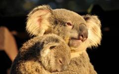 australia mother koala holds her sleeping joey