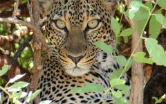 Leopard getting a better view of the land in a tree | South Africa