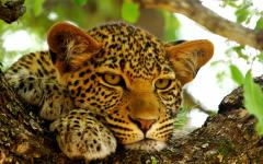 Close up of a young African leopard resting in a tree