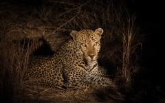 African leopard resting in the bush at night in the Sabi Sands Nature Reserve, South Africa