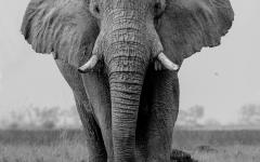 Elephant portrait by Letsogile Kamogelo.