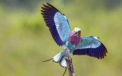Lilac Breasted Roller in Kruger National Park.