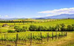 A vineyard in Montalcino.