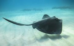 stingray swims along the ocean floor