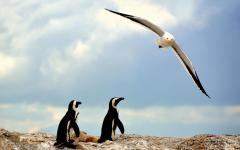 A couple of penguins standing on a rock with a seagull flying overhead | Boulders Beach, South Africa