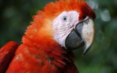 Scarlet Macaw in the Amazon Jungle.