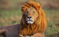 Lion sitting in sun in Kenya Masai Mara Africa