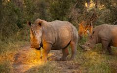 Couple of rhinoceroses in Sabi Sands Game Reserve, South Africa