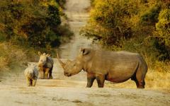 Rhino mother with her babies on a safari dirt road | South Africa