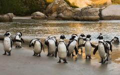 Group of African penguins standing on damp sand on Boulders Beach, South Africa