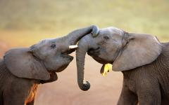 South African elephant calves embracing each other