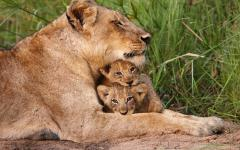 South African lioness snuggling with her two lion cubs