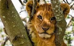 A lion cub in a tree in Tanzania.