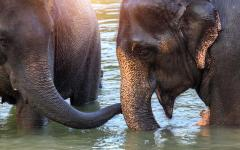 two adult elephants standing in water