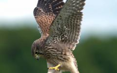 Falconry, an ancient tradition of the region of Dubrava