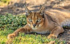 A wild cat (caracal), native to Africa and the Middle East.