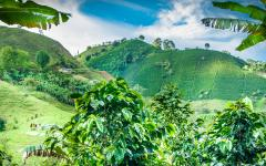 A view of the lush coffee plantations in Jerico.
