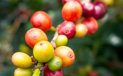 A branch of coffee cherries.