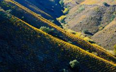 An Andalusian vineyard.