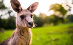 Australia close up of a kangaroo at sunset