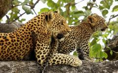 Leopard cub and mommy
