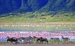Zebras and wildebeests walking beside the lake in the Ngorongoro Crater, Tanzania.