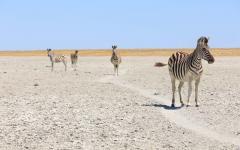 Zebras in Botswana's Great Salt Pans.