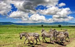 Zebras in the Ngorongoro Crater.