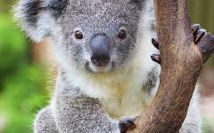 australia mother koala joey