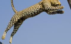 African leopard leaping from branch to branch in Botswana, Africa