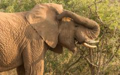 African elephant reaching back and itching its ear with its trunk | South Africa