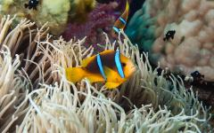 Clownfish in a sea anemone in Fiji.