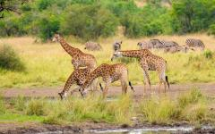 Giraffes drinking from a watering hole in Kruger National Park.