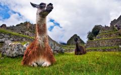 Two llamas at Machu Picchu.