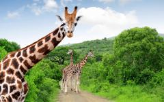 Close up of a South African giraffe with its family in the background   Kruger National Park, South Africa