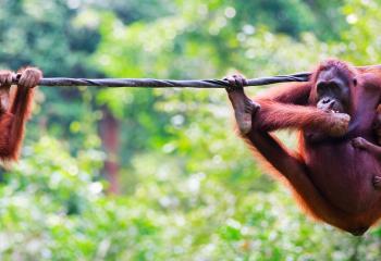 Oragutans play in Malaysian Borneo.