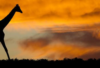 A giraffe moves across the savannah at sunset.