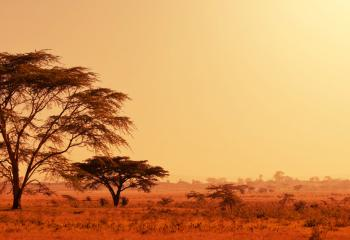 A lonely quiver tree on the savannah in Namibia.