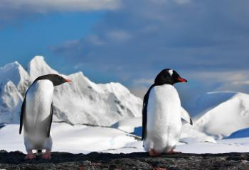 Antarctica Tour - Gentoo Penguins