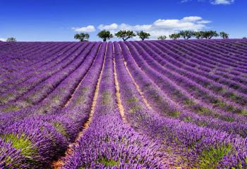 Lavender Field And Wine Tour France