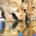 Family of African lions side-by-side lapping up water at a waterhole