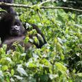 A young mountain gorilla relaxing in a leafy tree | Volcanoes National Park, Rwanda, Africa