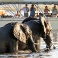 Two elephants crossing the Chobe River with tour boat in the background | Botswana, Africa