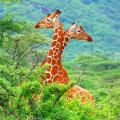 Two bright orange Kenyan giraffes standing side-by-side above the treetops