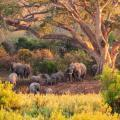 Family of African elephants residing for the night under the shade of a big tree