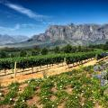View of a Stellenbosch vineyard with mountains in the background   Cape Winelands, South Africa