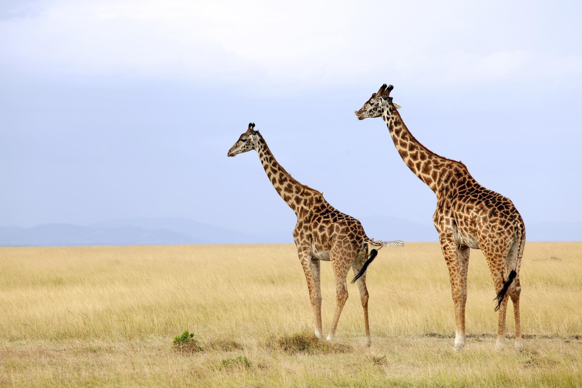 Responsible Kenyan Tourism Safaris Through Kenya S