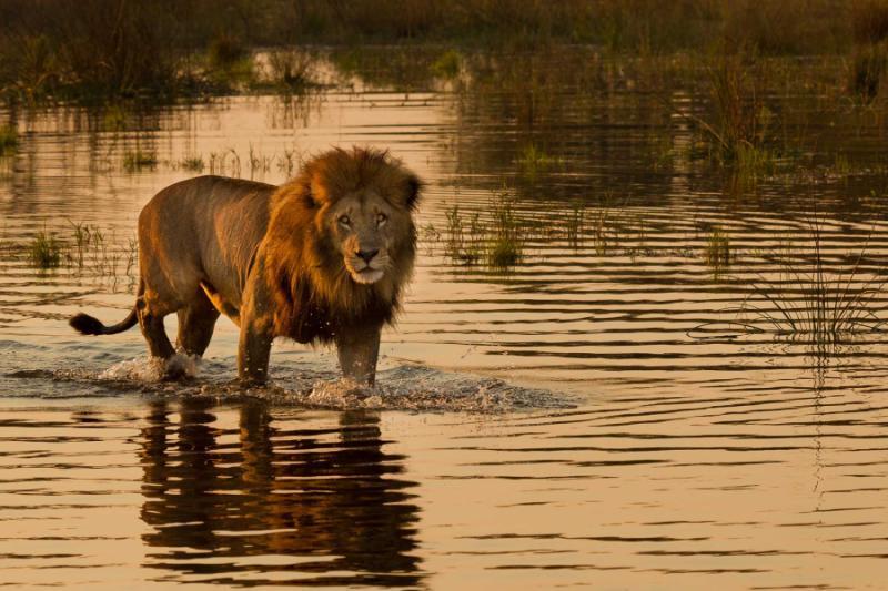 Safari Lion in the Water, Botswana. Credit: Shutterstock.