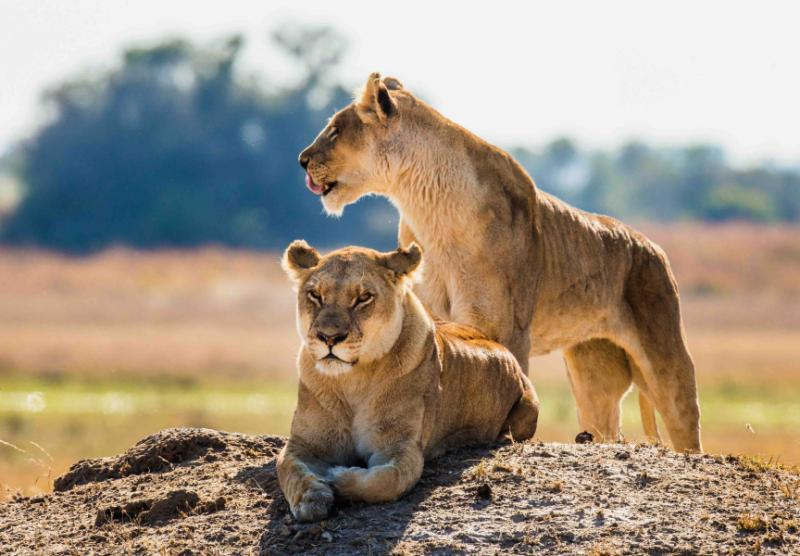 A Lion Couple in Botswana. Credit: Shutterstock.