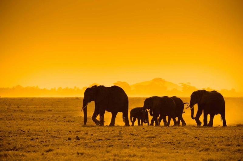 Silhouettes of Elephants in Kenya. Credit: Shutterstock.